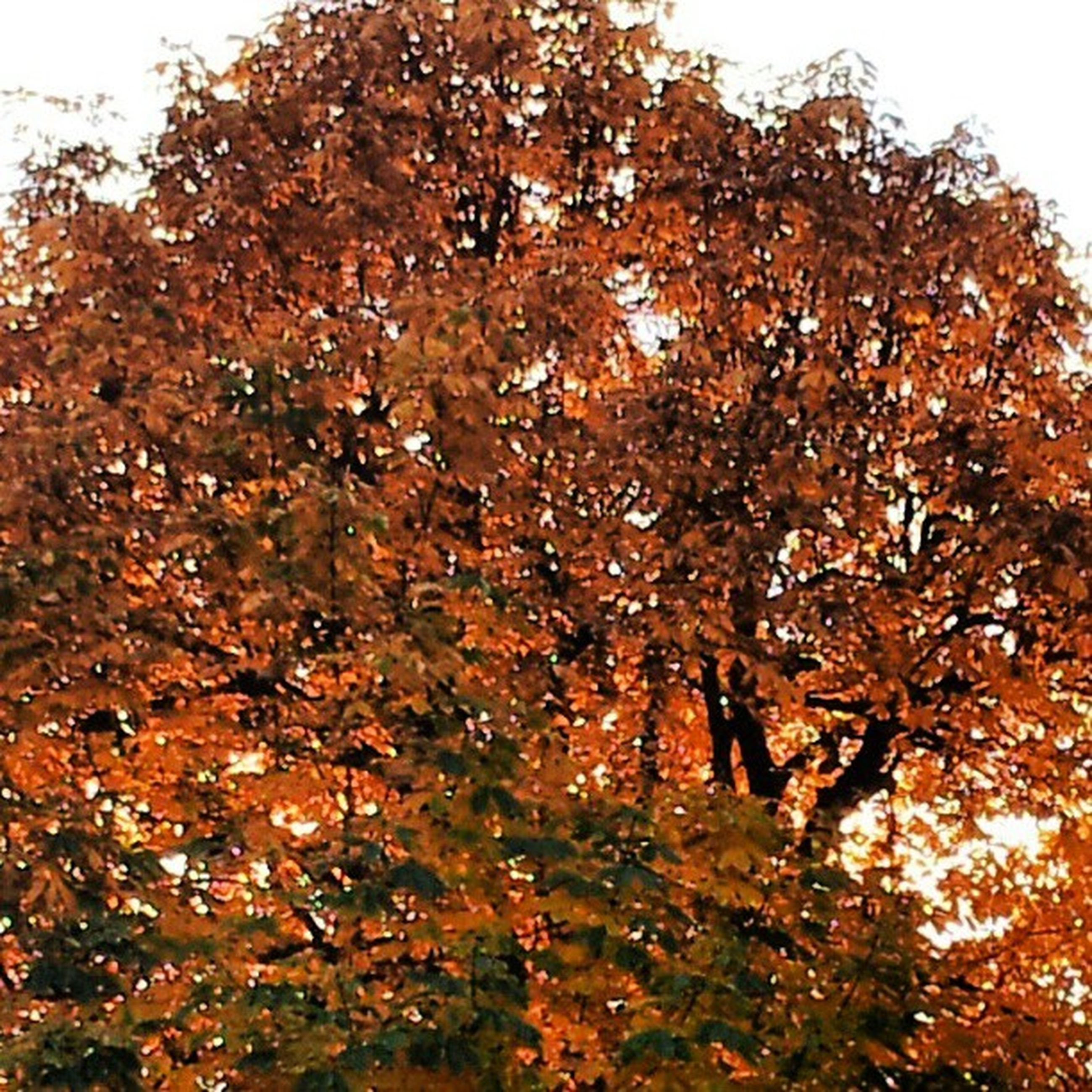 autumn, tree, change, season, growth, nature, leaf, low angle view, beauty in nature, tranquility, branch, clear sky, orange color, day, sky, outdoors, yellow, no people, tranquil scene, scenics
