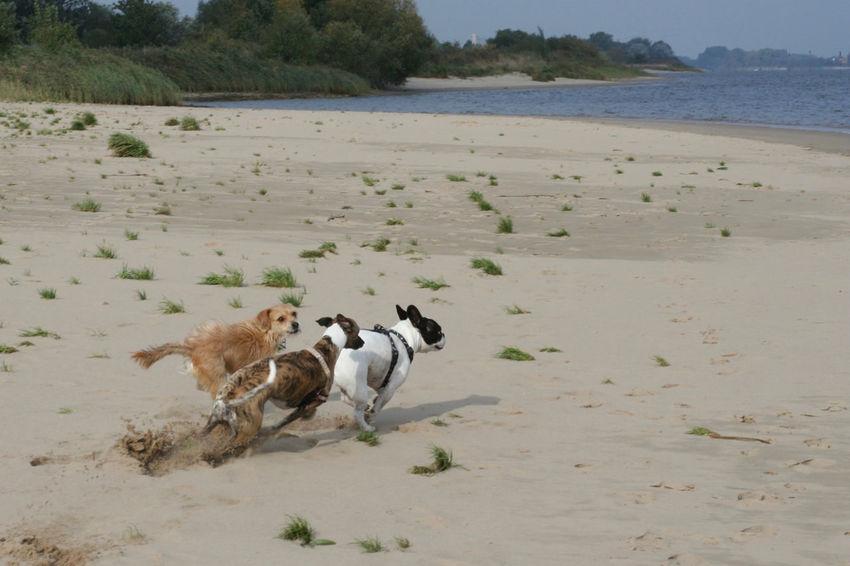 Beach Bully Dog Dogs Draußen Französische Bulldogge  French Bulldog Frenchbulldog Frenchie Hund Hunde Outdoors Pets Playing Dogs Sand Spielende Hunde Water