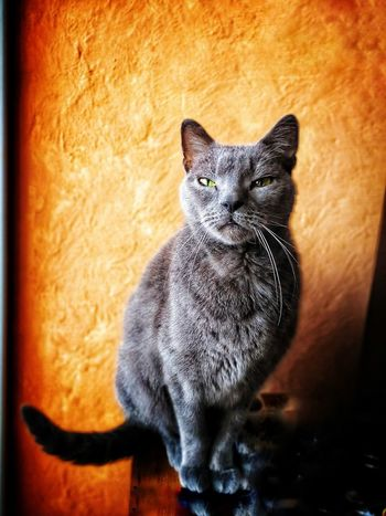 Mon chat, c'est le plus beau, le plus gentil. Mon sauveur, mon compagnon de tous les jours de solitude. Je pense à ma maman qui a perdu (encore) une minette ce week-end. Moi, si mon chat meurt, je veux qu'on me suicide avec lui... 😭😭😭 Photophone  Photomobile Fotomobile Portrait Photography Badass Ilovemycat Pets One Animal Domestic Animals Domestic Cat Animal Themes Indoors  Sitting Mammal Feline Portrait