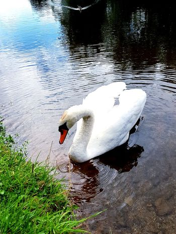 Swan Bird Water Swimming Lake Water Bird Mallard Duck Freshwater Bird At Home Adult Animal Mute Swan White Swan Mandarin Duck Flapping Duckling