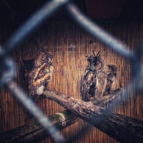 Owls Locked Zoo