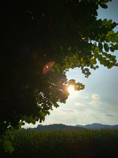 Sunlight Sun Tree Forest Leaf Sky Close-up Single Tree Branch Lush Foliage Greenery Countryside