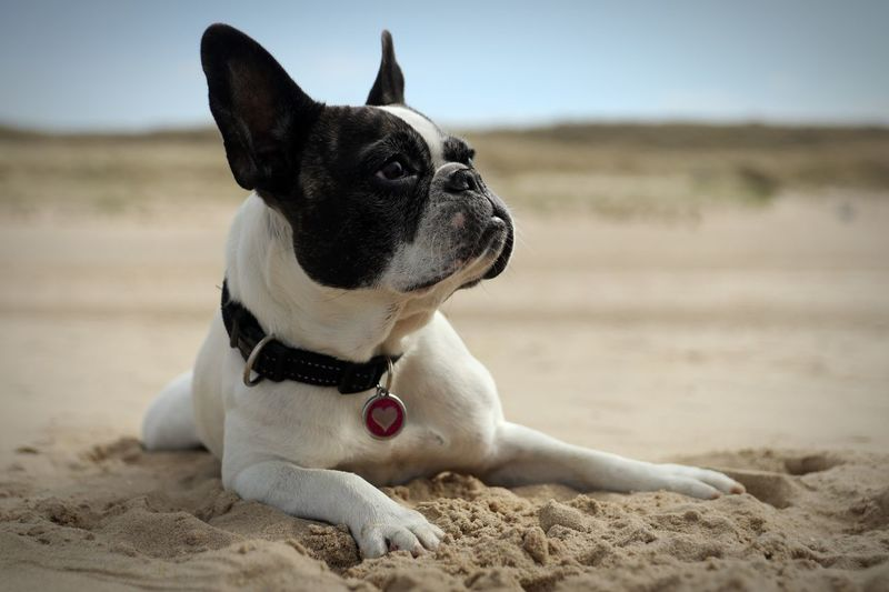 Französische Bulldogge  French Bulldog Frenchbulldog One Animal Domestic Pets Domestic Animals Dog Land Canine Sand Pet Collar Focus On Foreground Looking Away Relaxation Beach Collar Nature