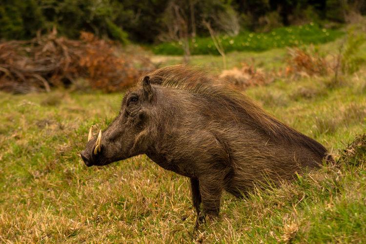 Close-up of warthog sitting on grassy field