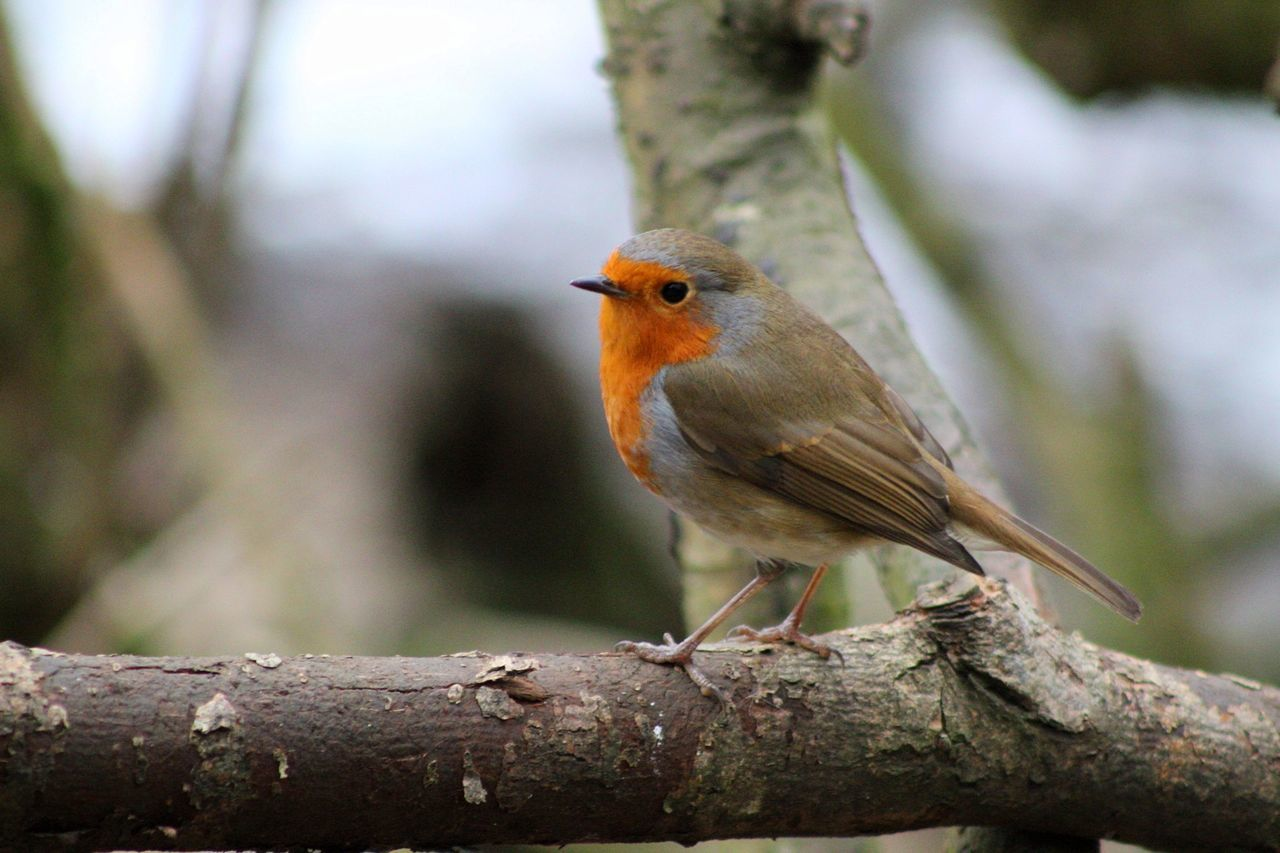 animals in the wild, one animal, perching, bird, animal themes, animal wildlife, focus on foreground, day, no people, robin, nature, outdoors, tree, close-up, branch, beauty in nature