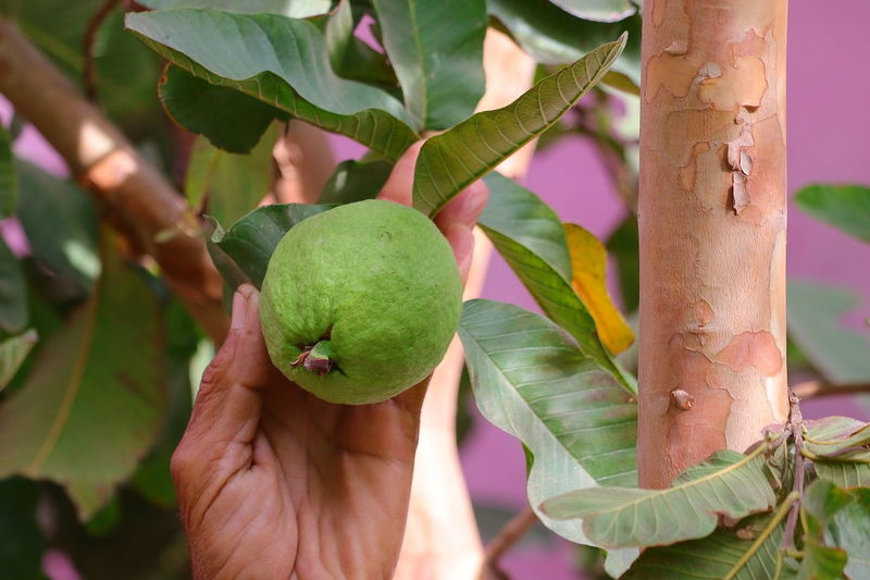 A farmer indict to grow guava on plant with blurred leaves background , gardening concept
