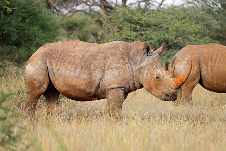 Side view of rhinoceros standing on grassy field