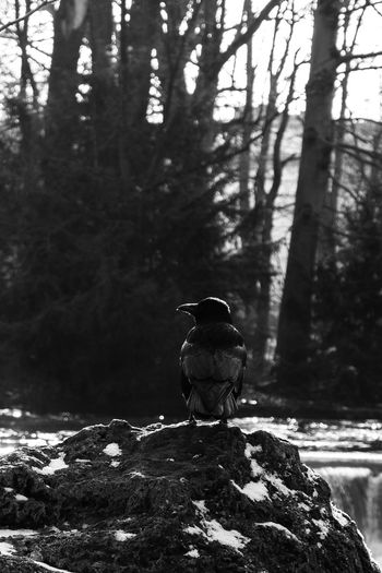 Animals In The Wild Animal Bird One Animal Winter Day No People Nature Tree Snow Blackandwhite