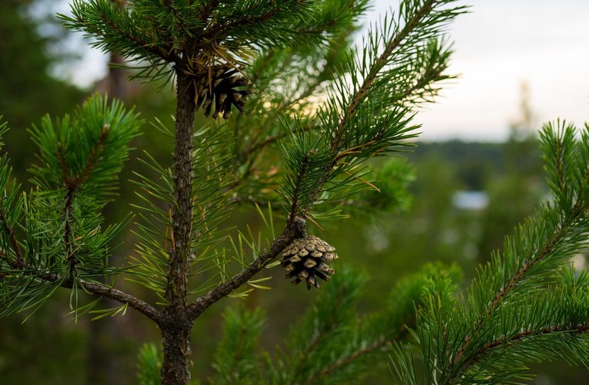 Pine Beauty In Nature Branch Day Focus On Foreground Freshness Green Color Nature No People Outdoors Pine Tree Pine Trees Pinetrees Scots Pine