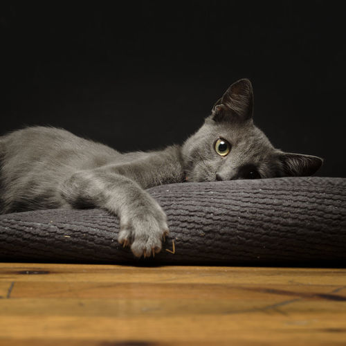 Portrait of cat resting on wood