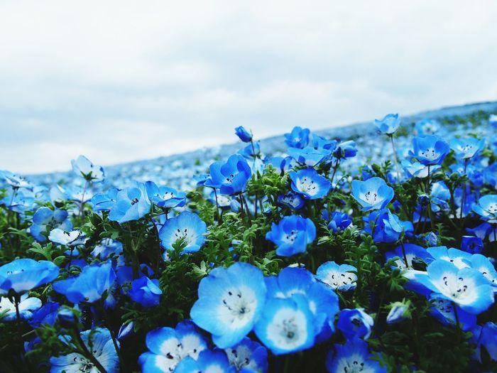 ネモフィラ二枚目(^^)/ ネモフィラ Nemophila 茨城県 ひたちなか市 ひたち海浜公園 日本 Japan