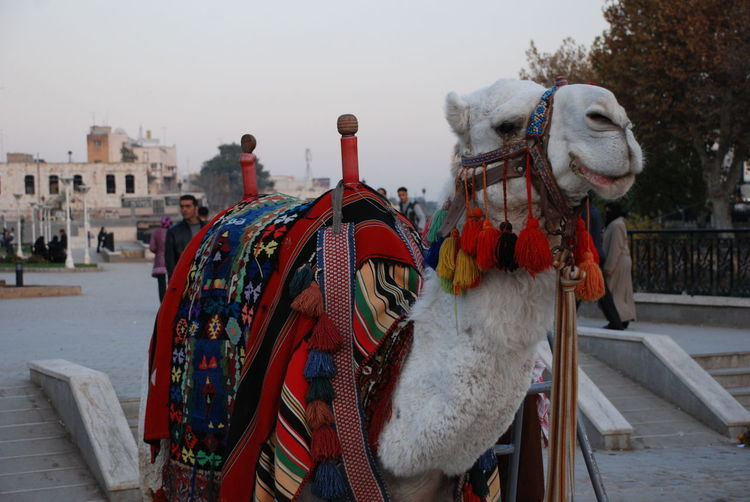 View Of Camel In City