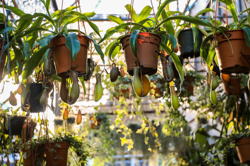 Nature No People Plant Tree Area Tree Tree Trunk Little Little Tree Garden Green Market Pot Flower Pot Close-up Beauty In Nature Hanging Leaf Outdoors Sunlight Agriculture Lighting Equipment Botany Nepenthes  Tropical Pitcher Plants