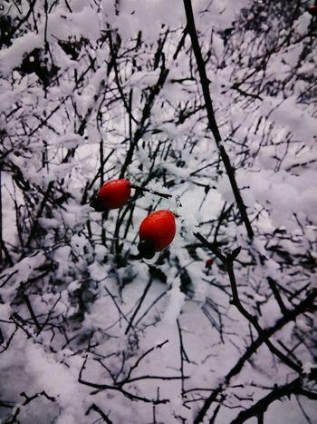 Winter Kuşburnu Kırmızı V Beyaz Kar Gezisi Kar
