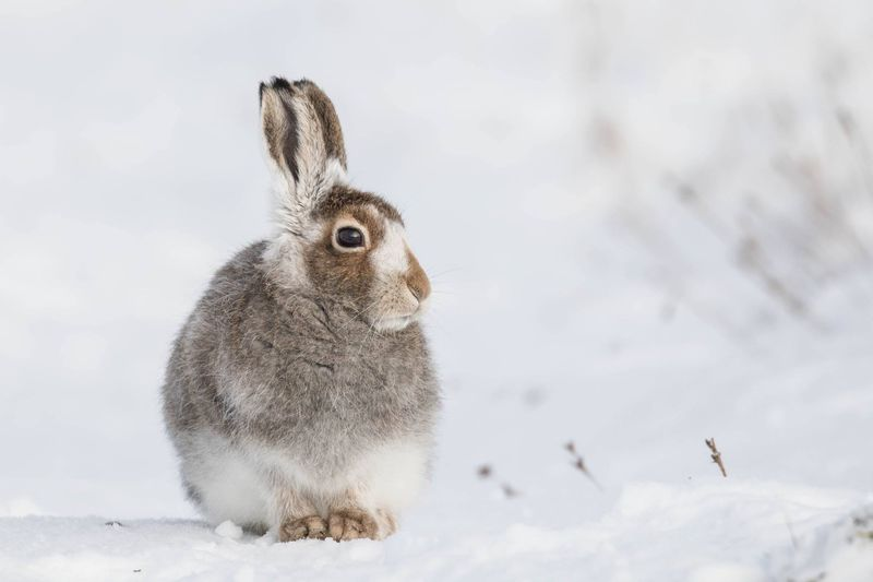 Close-Up Of Rabbit On Snow