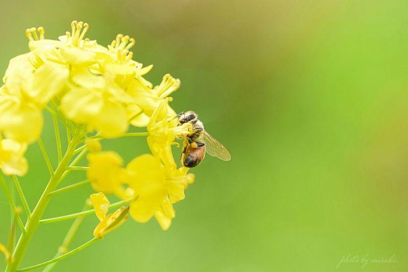 ミツバチ 蜂 HoneyBee 菜の花 春 Spring 黄色 Yellow