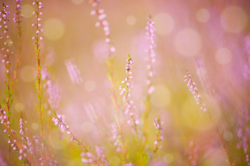 Subtle pink heather macro and blurred background with circles. Detail of Calluna Vulgaris, photo taken in forest, open air, autumn season in Poland. Backgrounds Bloom Blooming Blossoming  Blossoms  Calluna Vulgaris Close-up Erica Erica Gracilis Flower Flowerets Flowering Flowers Groundcover Heath Heather Ling Macro Nature No People Pink Plant Plants Millennial Pink Soft Focus