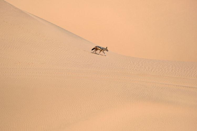 The jackal in the desert, namibia