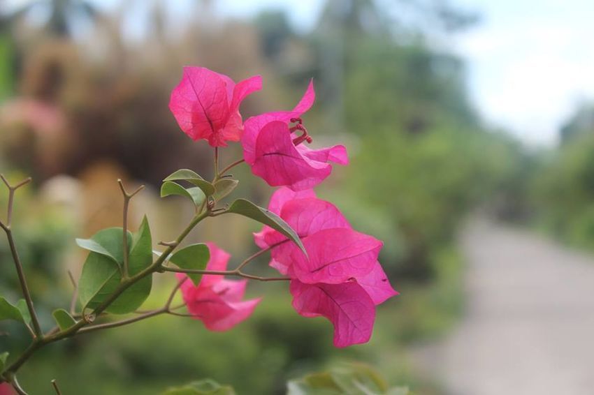 A lovely bougainvillea. Beautiful Bougainvillea Love Beauty In Nature Blooming Bougainvillea Bougainvillea Flower Bougainvilleas Close-up Day Flower Flower Head Focus On Foreground Fragility Freshness Growth Nature No People Outdoors Petal Pink Bougainvillea Pink Bougainvillea Flower Pink Color Pink Flower Pink Flowers Plant