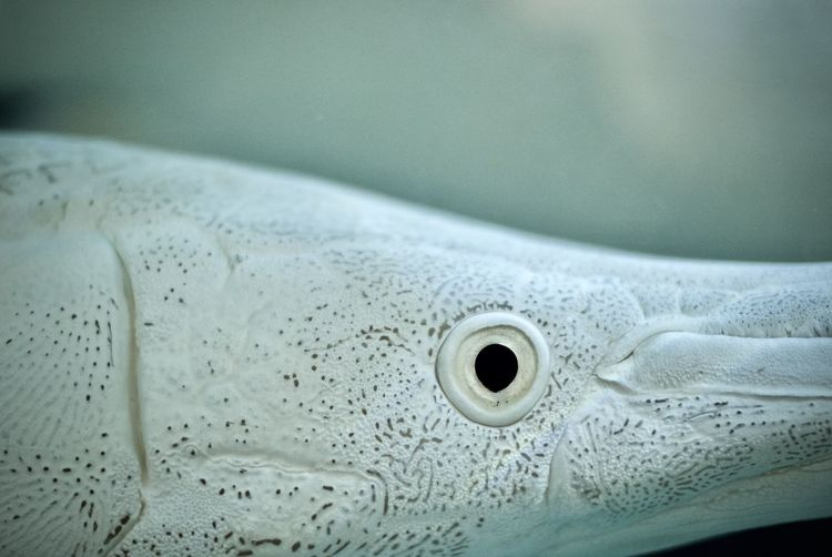 Close-up of platinum alligator gar undersea