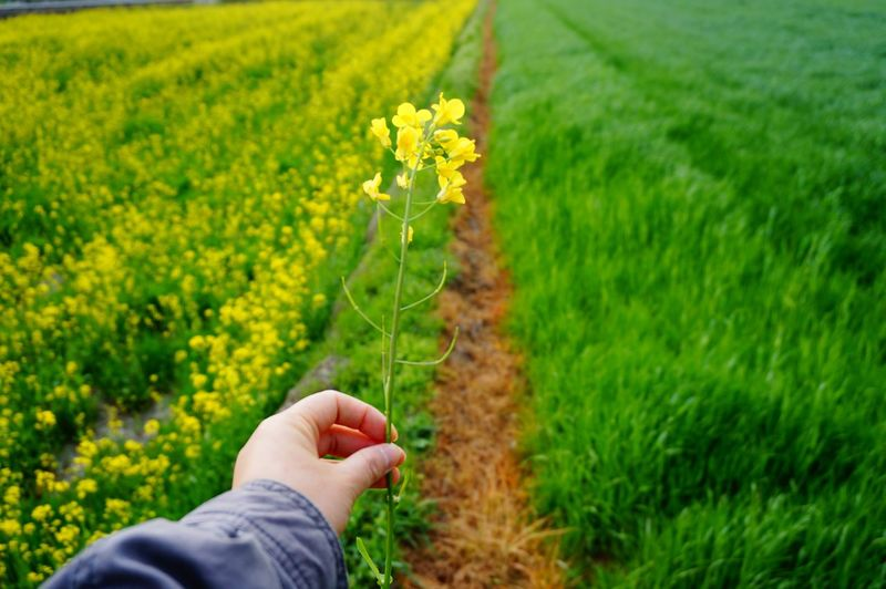 Person holding flower in hand next to cultivated field