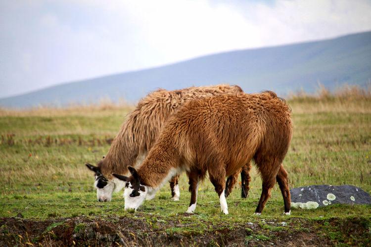 Llamas grazing on grassy field