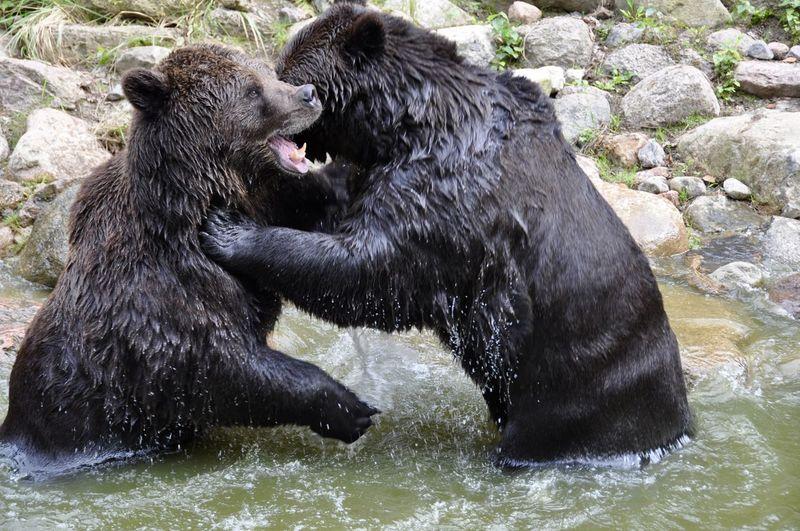 Bears fighting in lake
