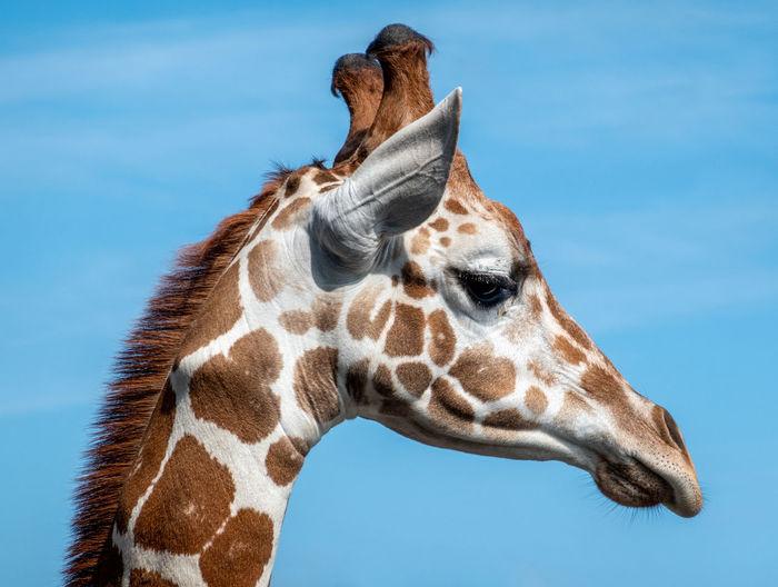 Close-up of giraffe against blue sky