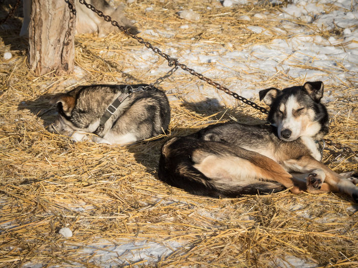 chilling in the sun Animal Themes Animals In The Wild Canada Cold Temperature Day Mammal Nature No People Outdoors Relaxation Resting Sled Dog Snow Warm Sunlight Wilderness Wilderness Adventure Wilderness Area Wildernessculture Winter Working Animal Yukon Territory
