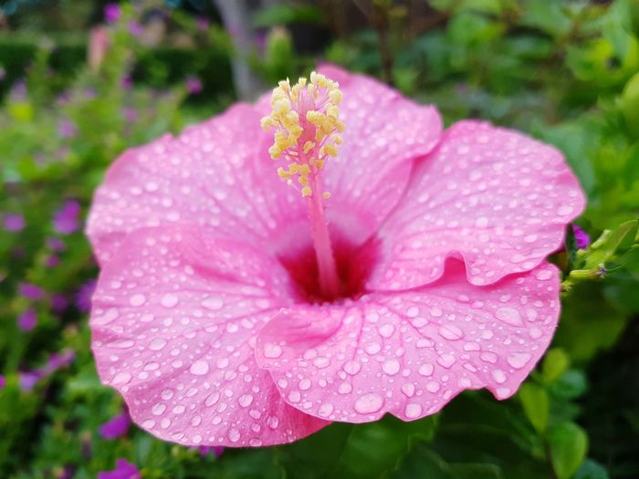 Pink Color Yellow Flower Watet Drop Flower Head Petunia Flower Hibiscus Pink Color Petal Stamen Close-up