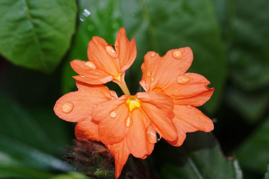 鳥尾花 Flower Close-up Nature Orange Color Beauty In Nature Flower Head Outdoors No People Day Fragility Day Lily