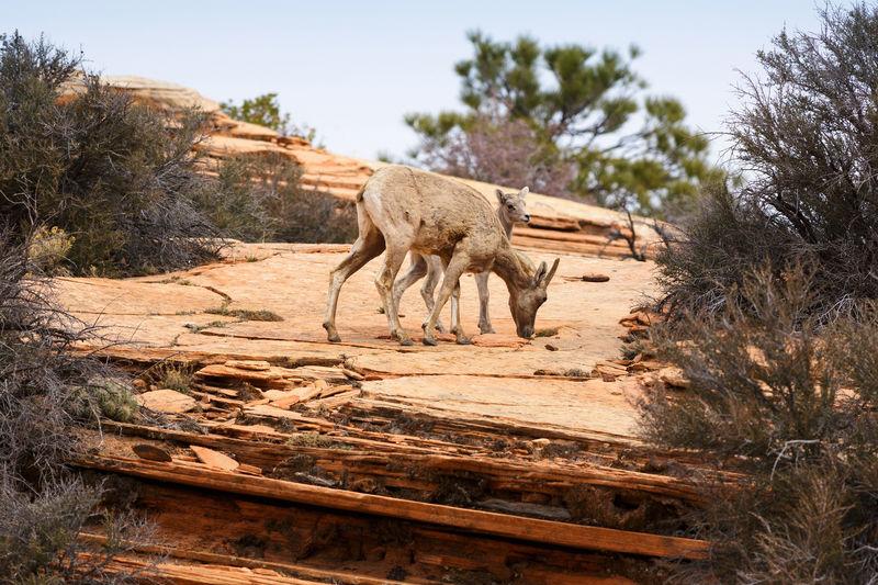 Deer On Rock At Zion National Park