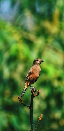pied bushchat female Pied Bushchat Bird Bird Perching Branch Tree Multi Colored Living Organism Animal Themes Close-up Fly Bird Of Prey