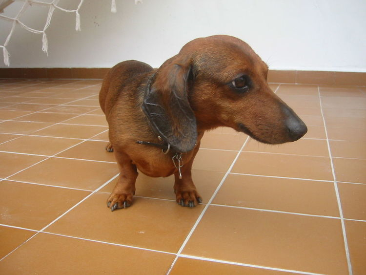 Maia  Maiolinha Dackel Dachshund Sausage Tile Floor Close-up Dog Brown Dachshunds Low Angle View Big Nose Cute Eyes Pet Love Big Ears Long Nose Short Hair Short Legs