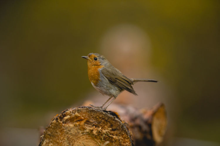 Animal Themes Animal Wildlife Animals In The Wild Beauty In Nature Bird Bird Photography Candid Close-up Cute Day Focus On Foreground Nature No People One Animal Outdoors Perching Robin Robin Bird Robin Redbreast Robins Shallow Depth Of Field Sharp Single Bird