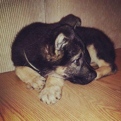 My Sweetheart Cute Puppy gsd germanshepherdlove