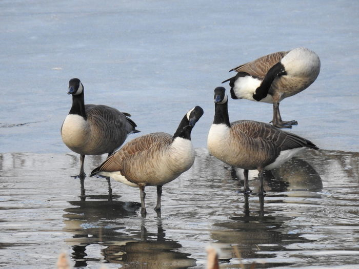 Canadian Geese Silly Goose Bird Birds Birds Of EyeEm  Birds_collection Birdwatching Ornithology  Character Silly FUNNY ANIMALS Pond Life Pond Frozen Ice Water Reflections Bird Water Lake Geese Goose Flock Of Birds Canada Goose Medium Group Of Animals Migrating Water Bird Wading Lakeshore Young Bird