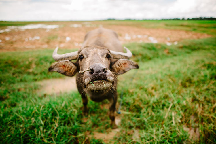 Animal Animal Themes Cattle Cow Day Domestic Domestic Animals Field Grass Herbivorous Land Livestock Looking At Camera Mammal Nature No People One Animal Outdoors Pets Plant Portrait Standing Vertebrate