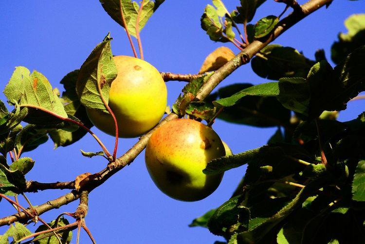 Two Apples Hanging On A Branch Fruit Hanging Leaf Agriculture Close-up Food And Drink