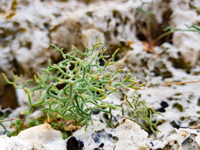 Pflanze Vrsar Croatia Hrvatska Prickly Pear Cactus Snow Cactus Winter High Angle View Close-up Plant Needle - Plant Part