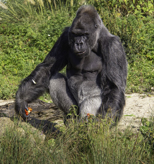 Gorilla Primate Mammal Ape Sitting Outdoors Silverback Gorilla No People
