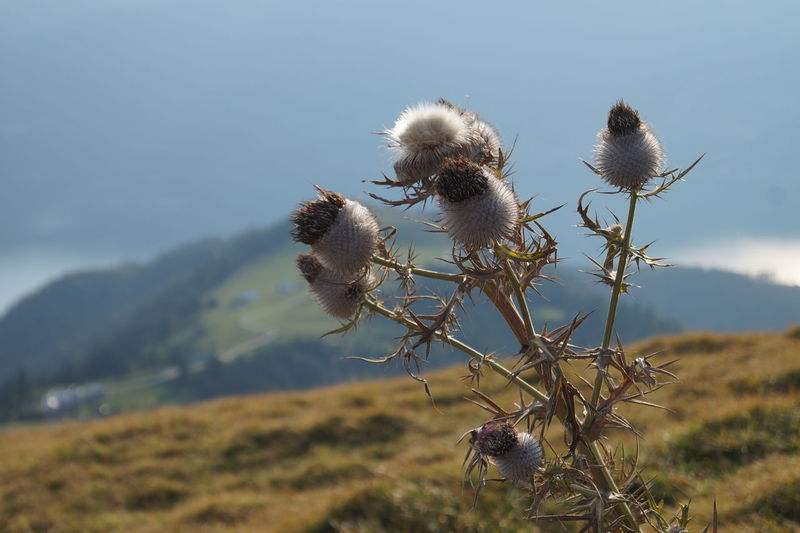 Low angle view of thistle against sky