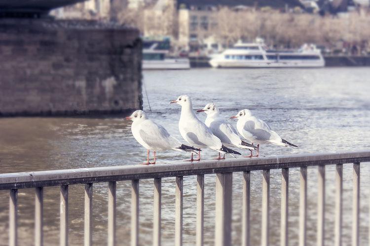 Cologne Köln Möwen Auf Der Stange Möwenpack NRW Ratten Der Lüfte Rheinblick Rhine View Seagull Selective Focus The Stooches Togetherness