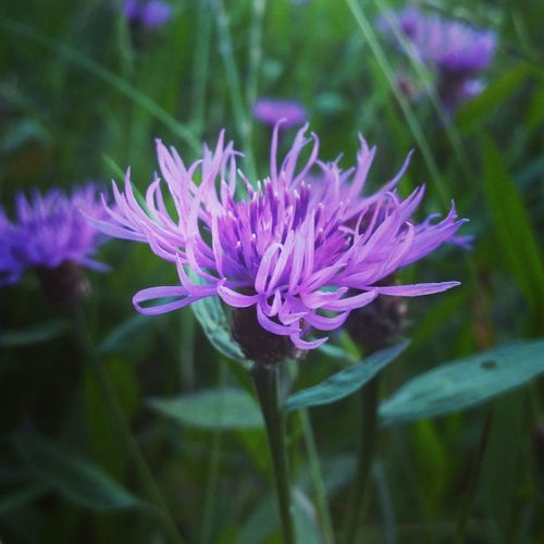 Purble Flower Field Flower Liliac Flower Summer Nature Is Beautiful Nature Is Amazing Purble Blossom Blossom Nature On Your Doorstep Color Of Life Flower Flower Head Fragile Close-up Nature In Details Smelling The Flowers