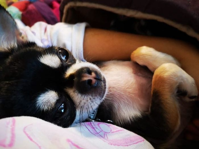 Sweet chihuahua Chihuhua Mammal One Animal Animal Themes Domestic Animal Pets Domestic Animals Canine Indoors  Close-up Furniture Lying Down Dog Focus On Foreground No People Home Interior Relaxation Vertebrate Animal Head  Animal Body Part