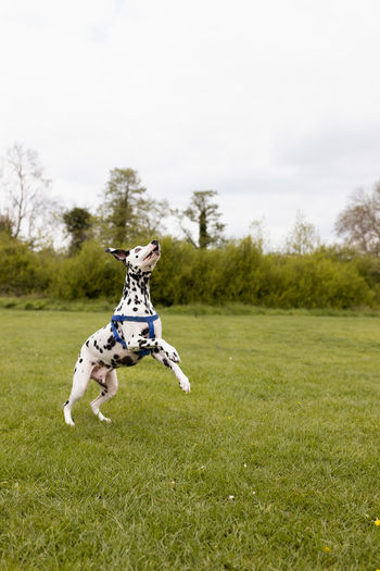 Dog jumping in a field