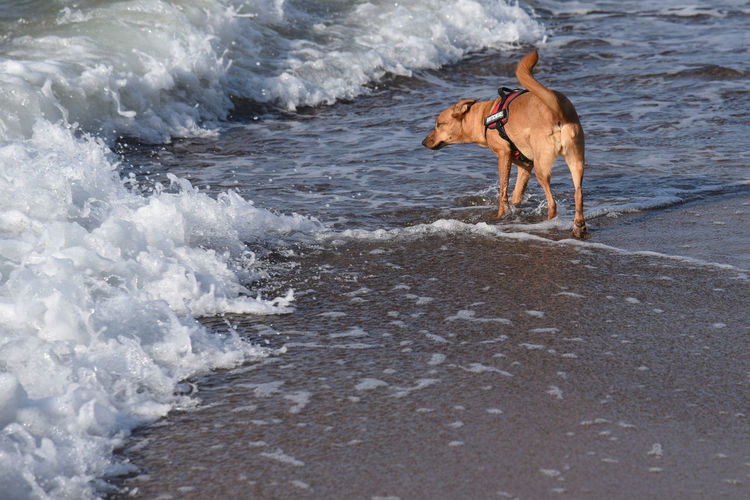 Dog Walking On Sea At Beach