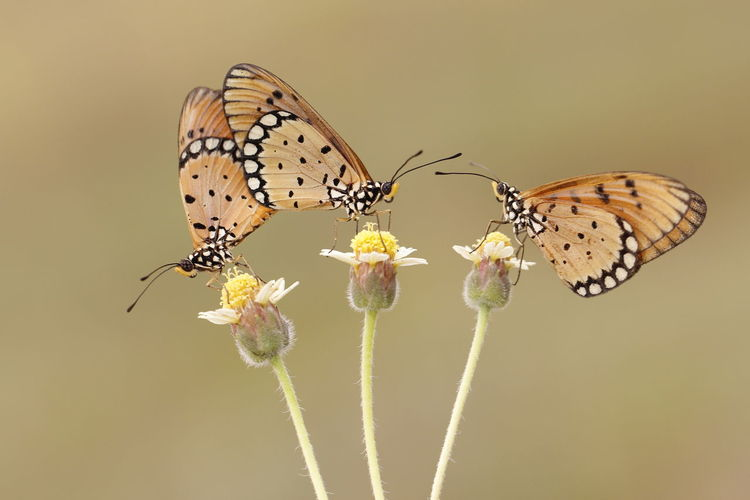 Couple Macro Photography Making Love Butterfly - Insect Flower Insect Macro Nature