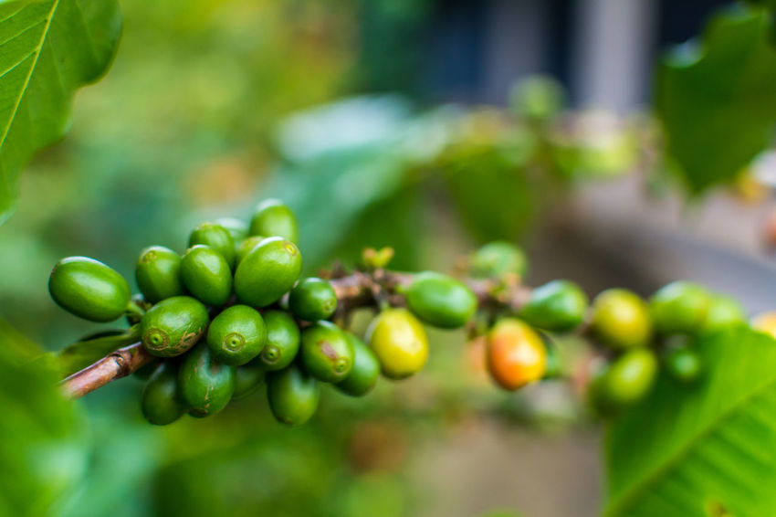 Coffee seeds on a coffee tree in Chiang rai, Thailand Beauty In Nature Close-up Day Focus On Foreground Food Food And Drink Freshness Fruit Grape Green Color Green Olive Growth Healthy Eating Leaf Nature No People Outdoors Tree Vine