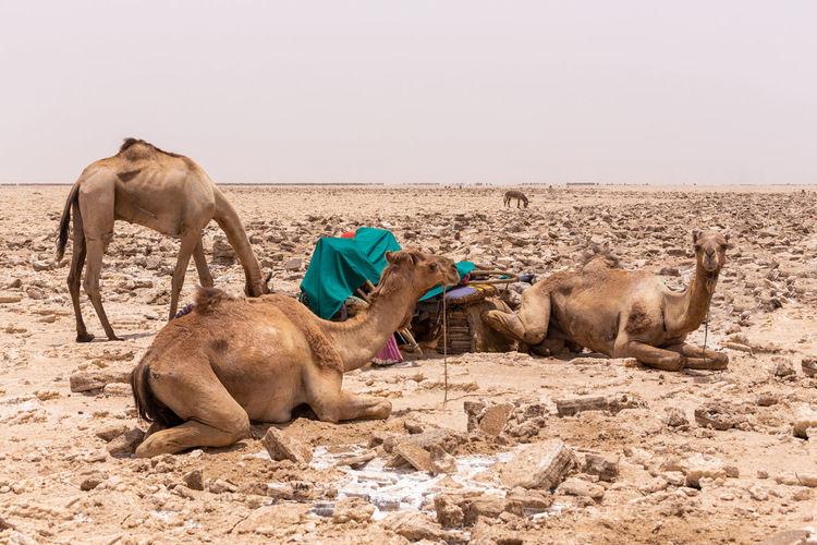 Sheep in a desert
